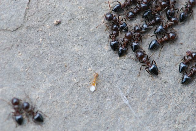 thief-and-crematogaster