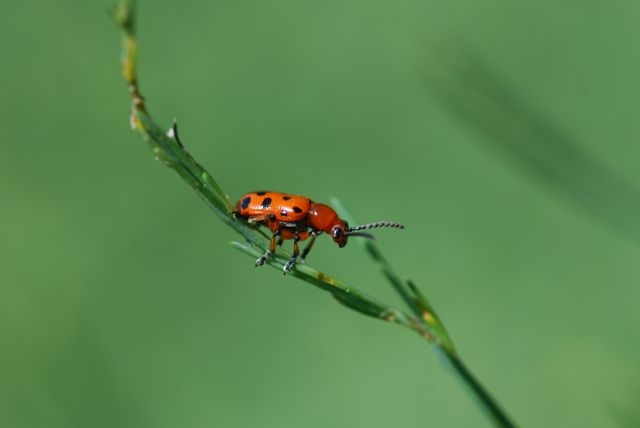 asparagus-beetle-nice-adult