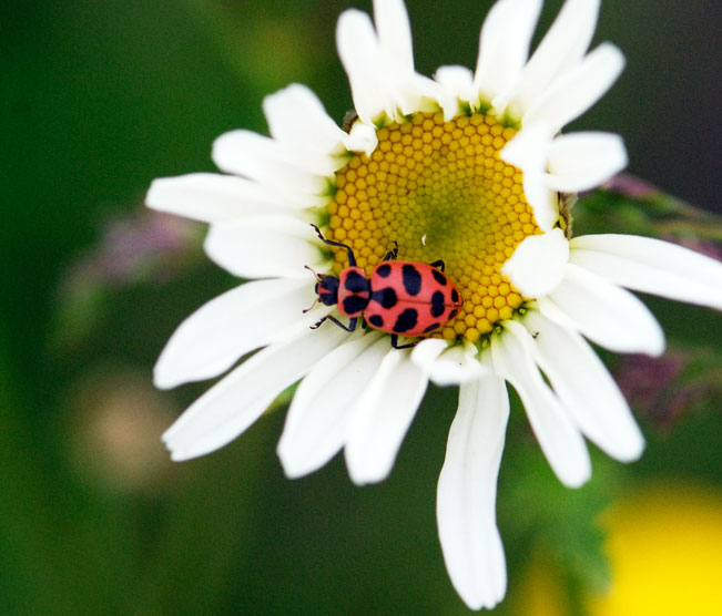 colle-lady-beetle