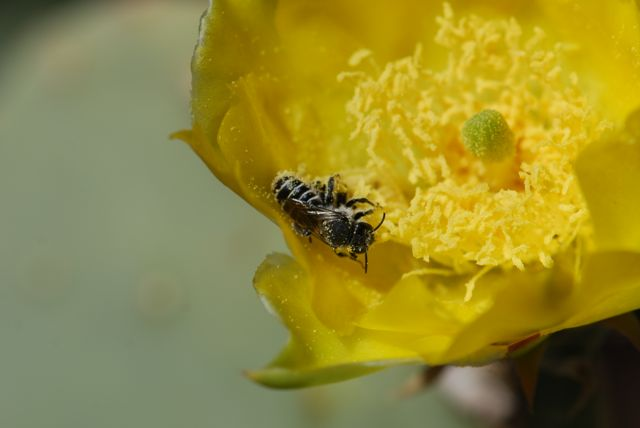 cactus-flower-bee