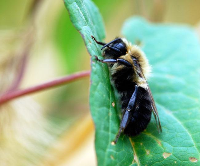 bumble-bee-1123