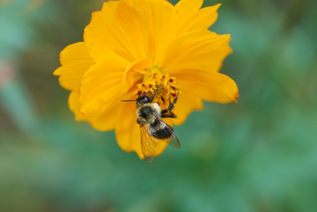 cosmos-bumble-bee-234