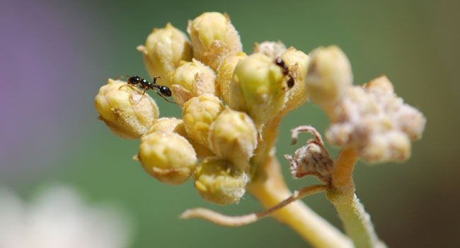 ant-on-milkweed-crop
