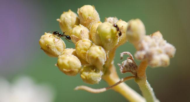 ant-on-milkweed-crop