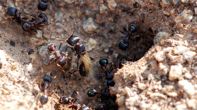 princess-ant-rugosus-crop