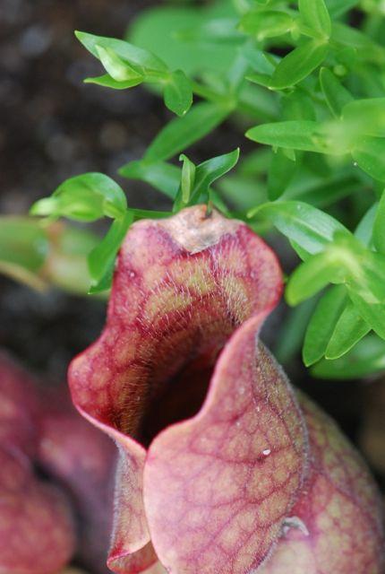 pitcher-plant-8