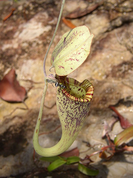 450px-Nepenthes_rafflesiana_ant