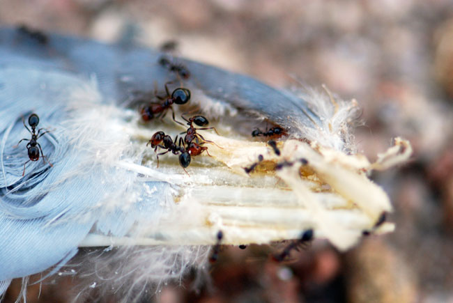 southern-fire-ants-scavenging-bird-feathers