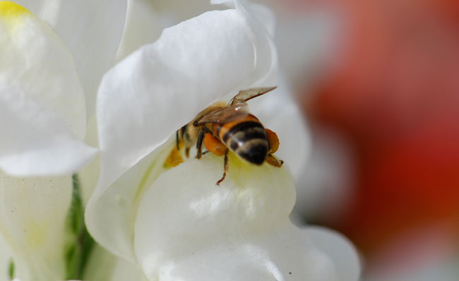 AA-honey-bees-in-snapdragons