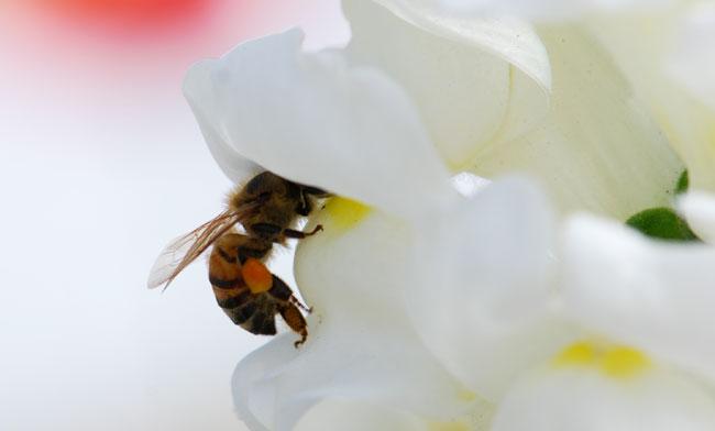 AA-honeybee-going-into-snapdragon-1