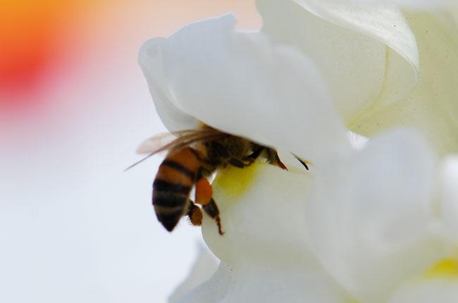AA-honeybee-snapdragon-2