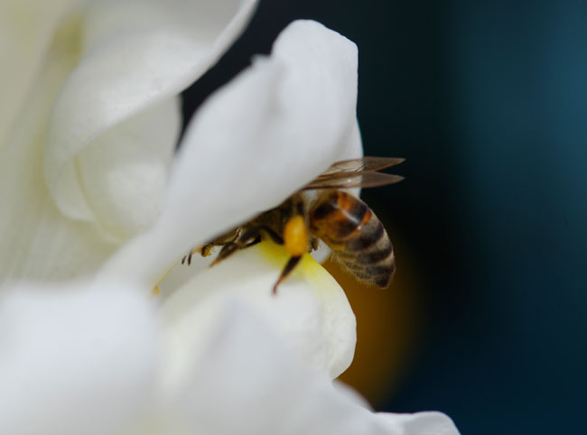 AA-pollen-on-mandibles-honey-bee