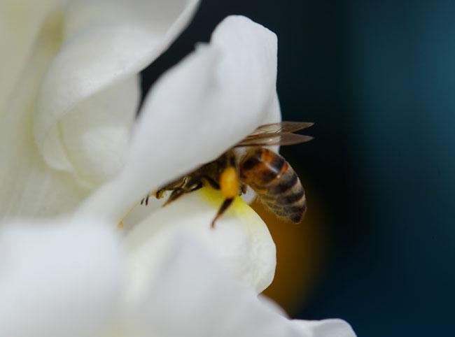 AA-pollen-on-mandibles-honey-bee