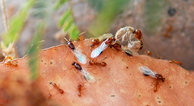 Solenopsis-males-on-leaves-027