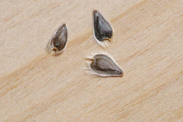 brittlebush-seeds