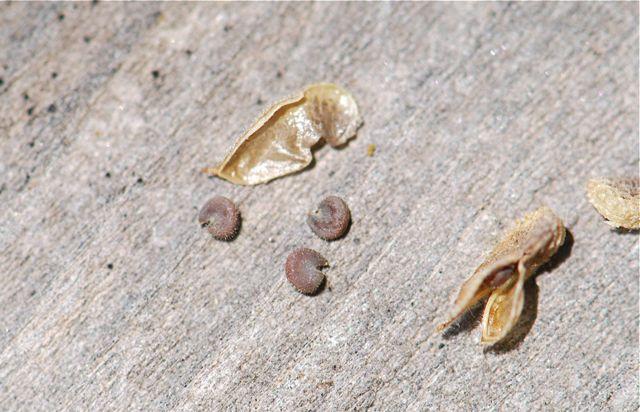 desert-mallow-actual-seeds