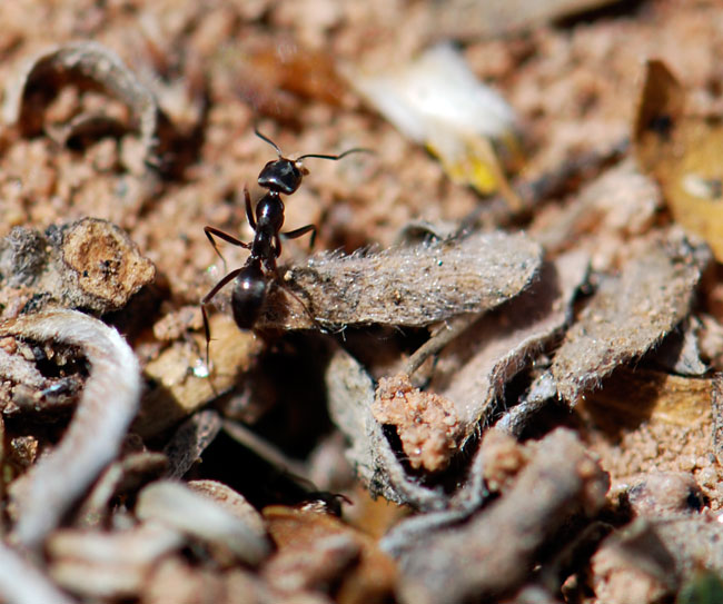 dorymyrmex-insanus-close