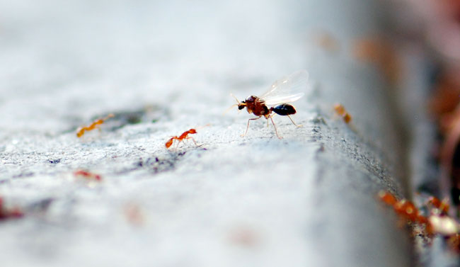 solenopsis-male-beginning-to-take-off-039