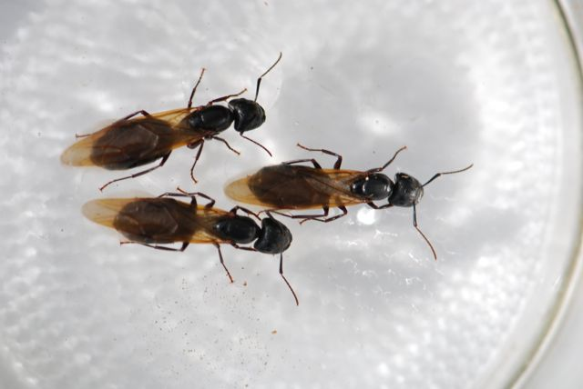 Camponotus-pennsylvanicus-3-alates