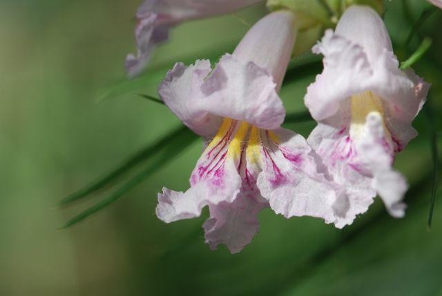 desert-willow-flowers-2