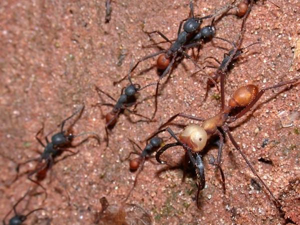 army_ants-eciton-burchelli-Alex-Wild