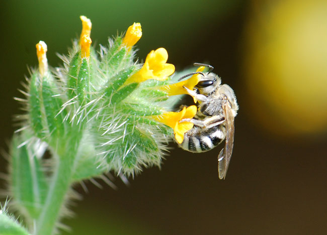 solitary-bee