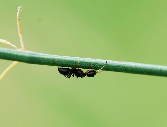 ant-on-asparagus_0416