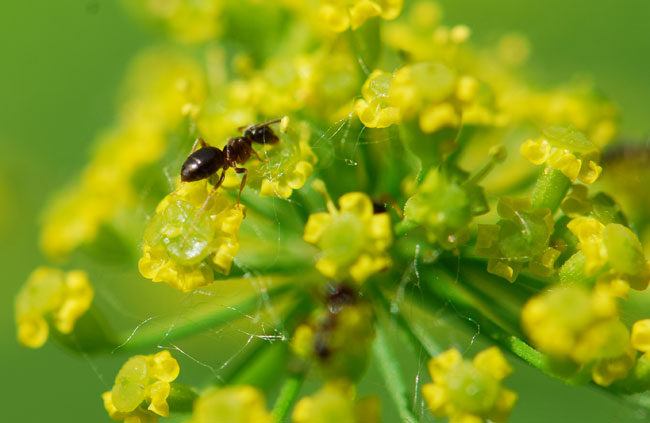 ant-on-wild-parsnip-nectary-0392