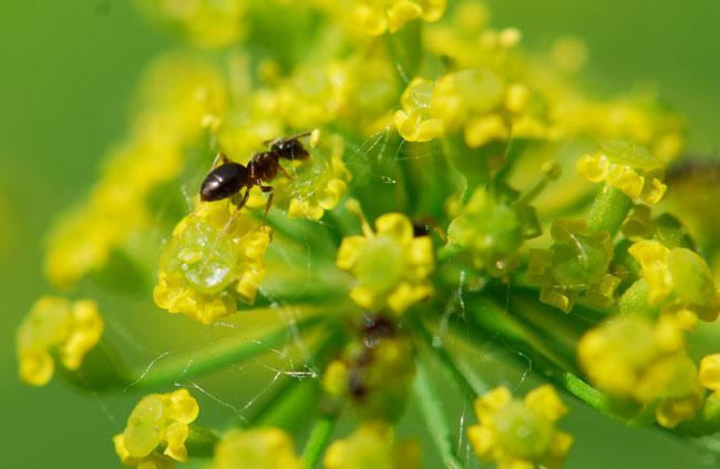 ant-on-wild-parsnip-nectary-0392