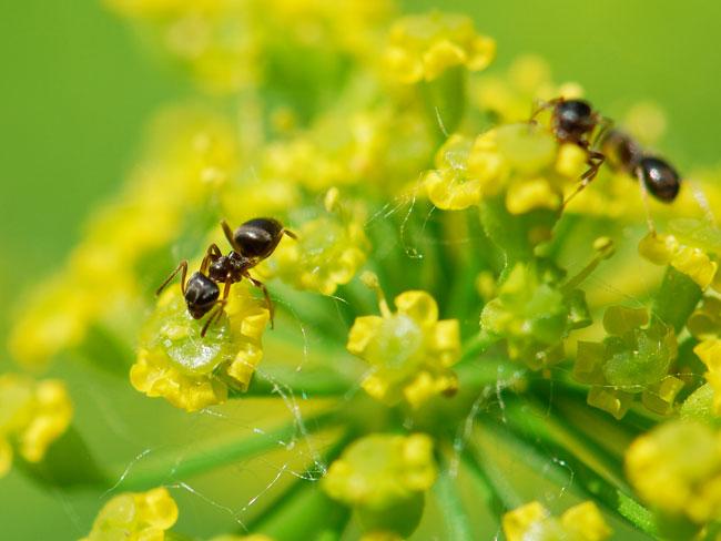 ant-wild-parsnip-nectary-goodC_0361