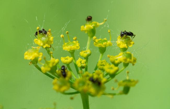 ants-on-umbel