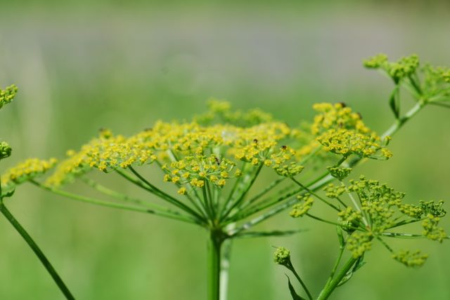 ants-on-wild-parsnip-0367