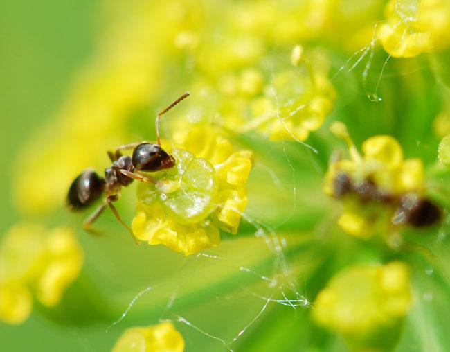 ants-on-wild-parsnip0388