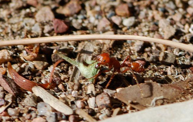 Pogonomyrmex-maricopa-227-crpped