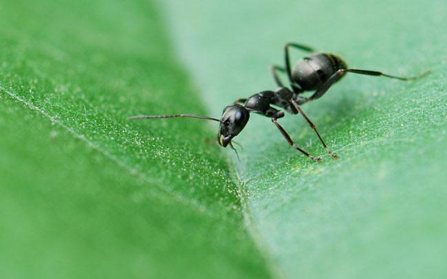 formica-on-leaf-096