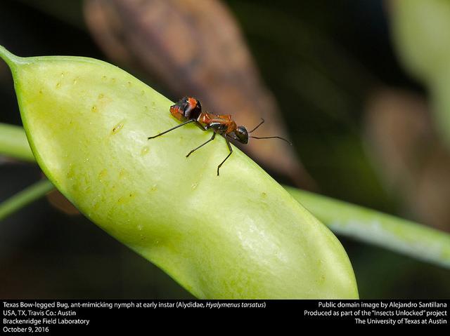 texas-bow-legged-bug-ant-mimic
