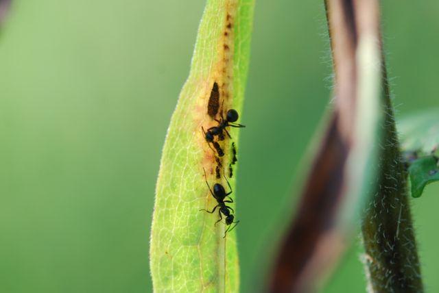 leaf hopper and meat ant relationship goals